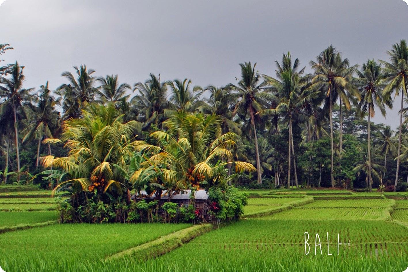 Paysage verdure champs et palmiers à Bali